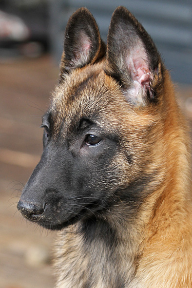 Malinois female