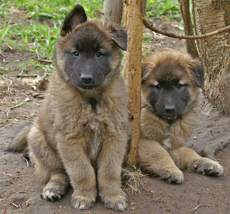 Tervueren puppies